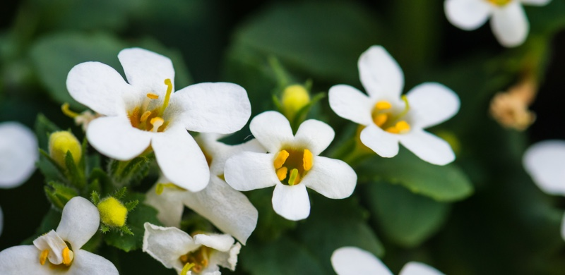 Bacopa - Medicinal Herbs to Boost Energy and Focus - Gurvi Movement