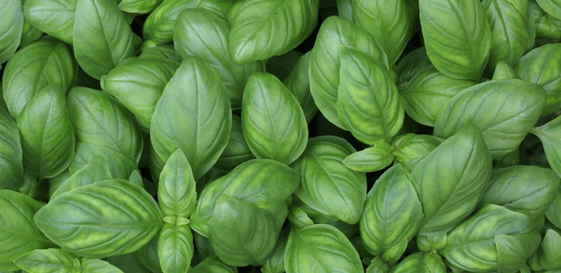 Basil - Medicinal Herbs to Boost Energy and Focus - Gurvi Movement