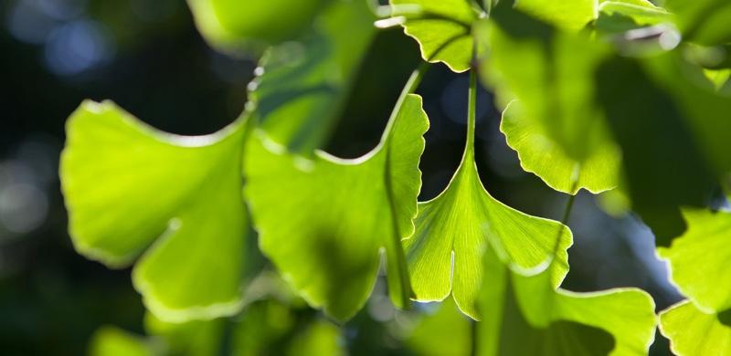 Gingko Biloba - Medicinal Herbs to Boost Energy and Focus - Gurvi Movement